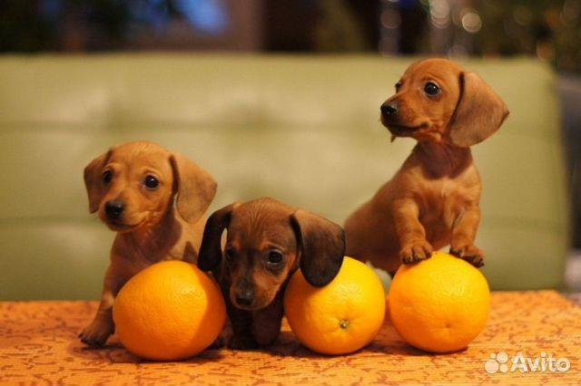 Воронеж: продаются щенки (мальчики, стандарт)