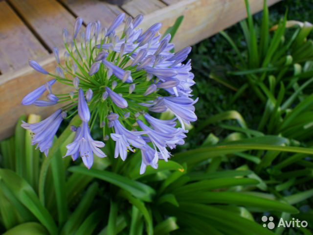 Агапантус выращивание из семян в домашних условиях 39
