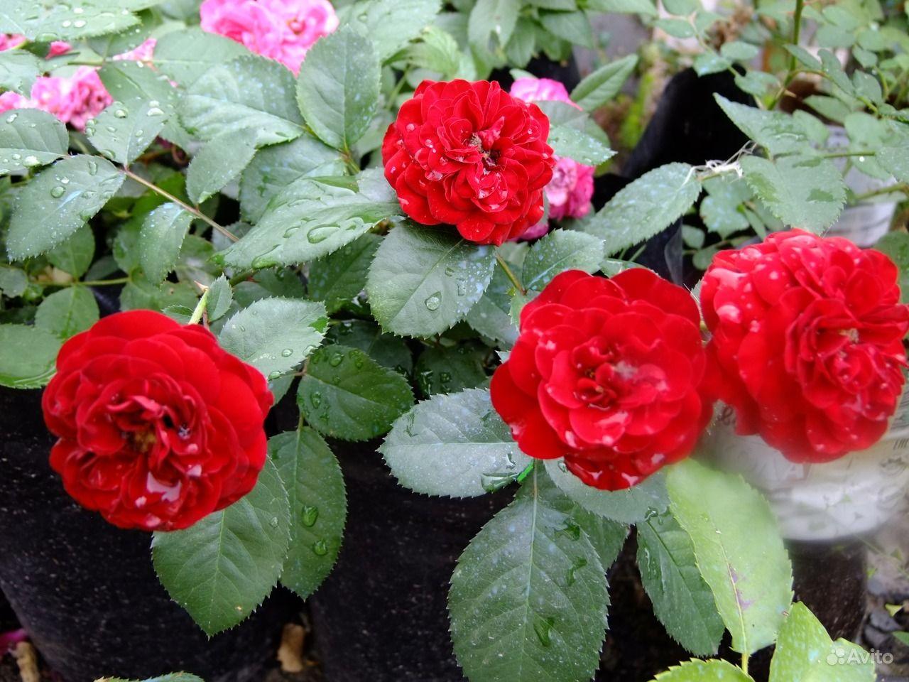 Саженцы роз купить на Зозу.ру - фотография № 6