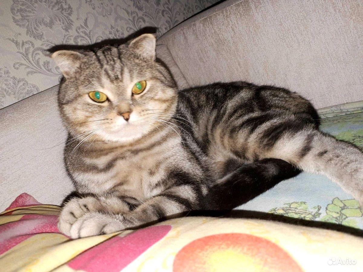 Шотландский Кот вязка - фотография № 2