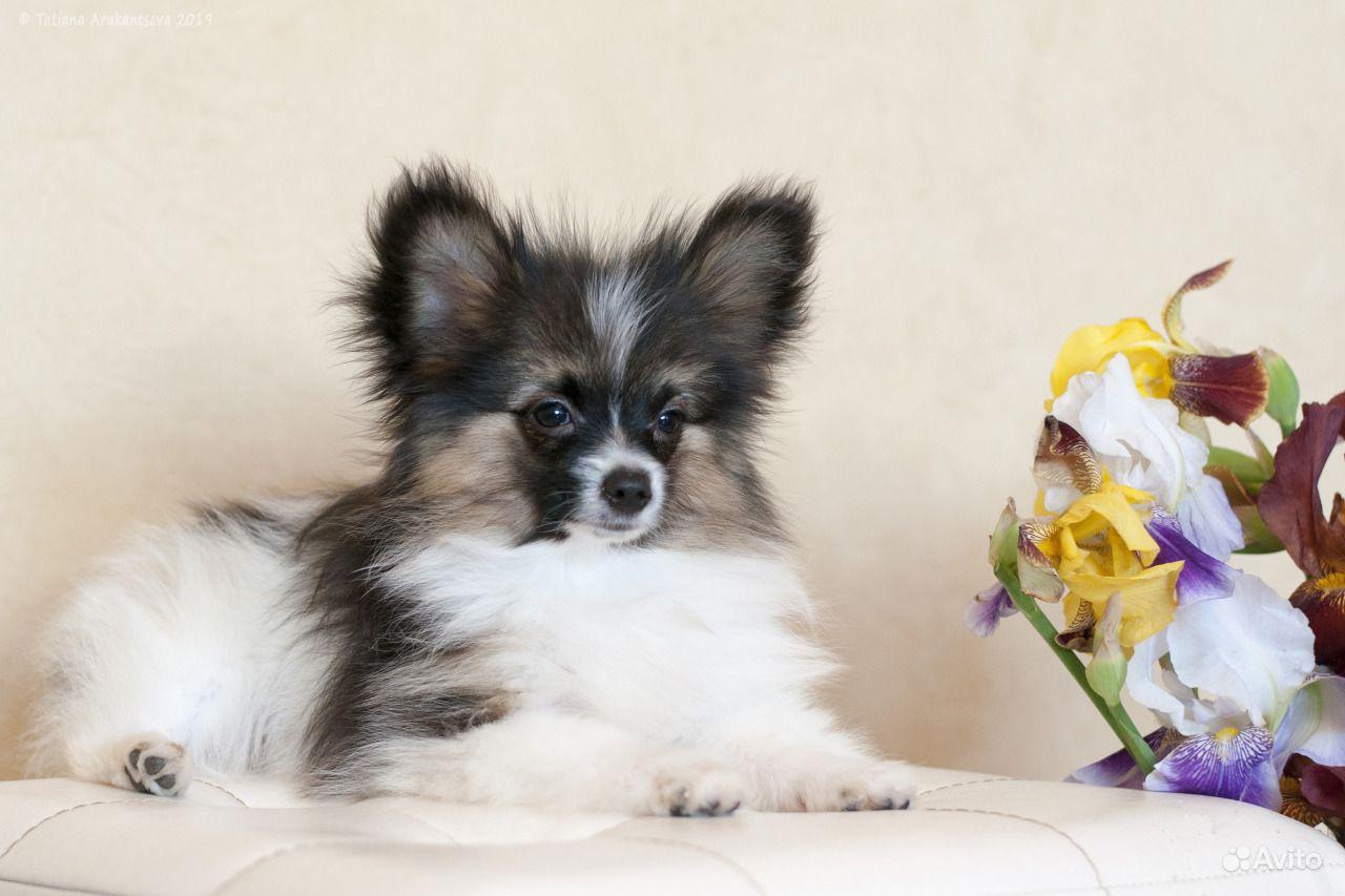 Изумительные щенки папийона в Москве - фотография № 1