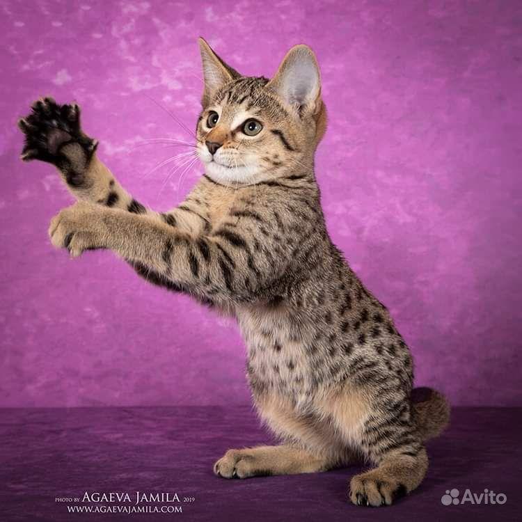Котята саванна ф4 - фотография № 1