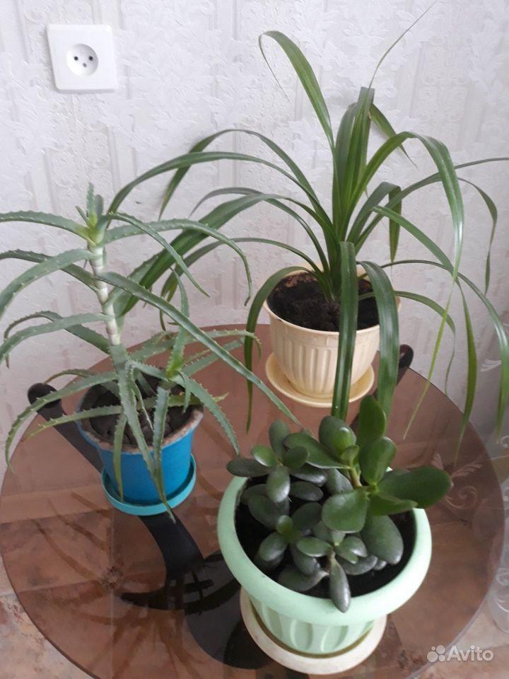 Комнатные растения - денежное дерево, алоэ и пальм купить на Зозу.ру - фотография № 1