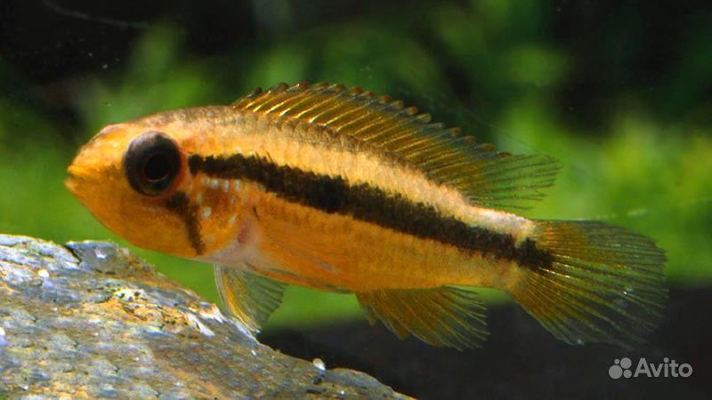 Апистограмма Агассица самка. Рыбка купить на Зозу.ру - фотография № 1