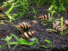 Хищная аквариумная улитка «Хелена»