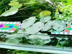 Аквариумные растения. Гидроклейс, гидрокотила трип