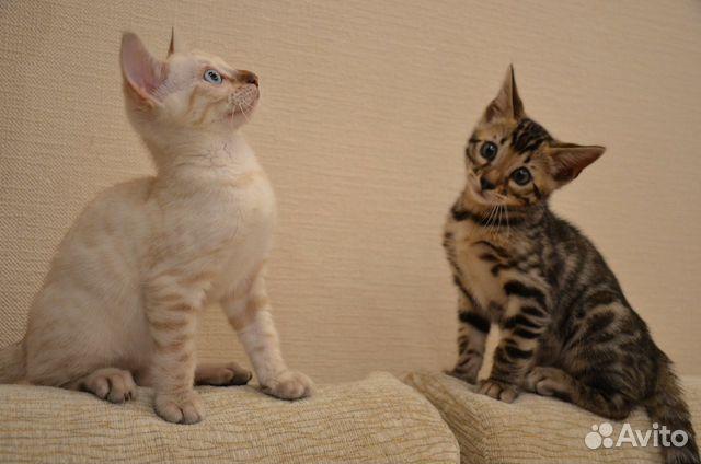 Авито челябинск бенгальские котята