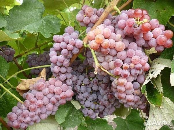 саженцы винограда в новосибирске фото масса, хоть