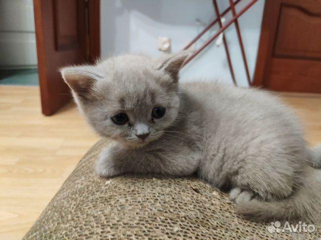 фото шотландских котят прямоухих
