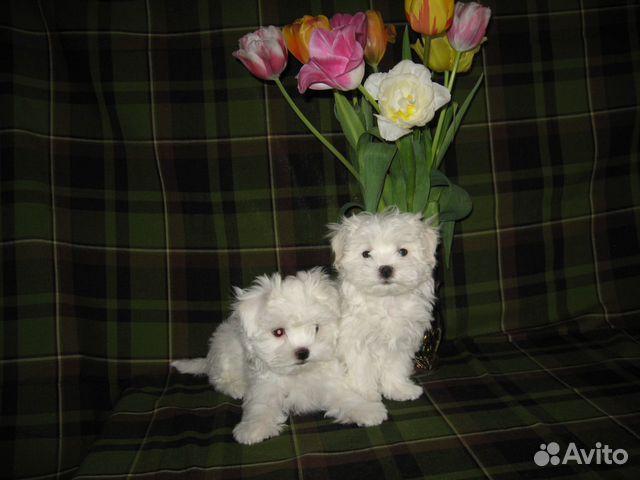 Продам щенков Мальтийских болонок купить на Зозу.ру - фотография № 1