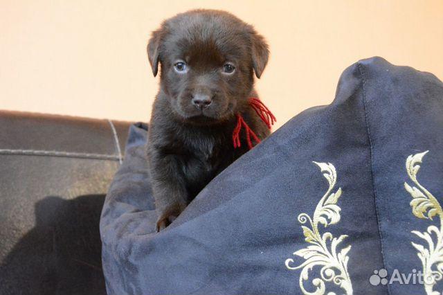 Плюшевые шоколадки, щенки Лабрадора купить на Зозу.ру - фотография № 6