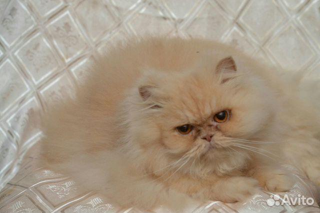 Персидские кошки и коты купить 1