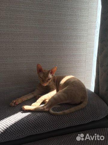 Кошка канадский сфинкс браш вязка 89114805760 купить 3