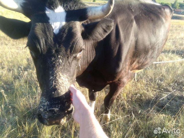 Корова  89198018729 купить 2