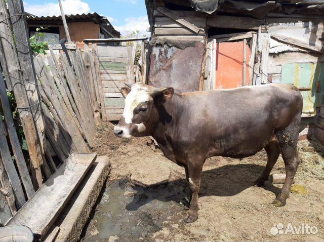 Bull  köp 2