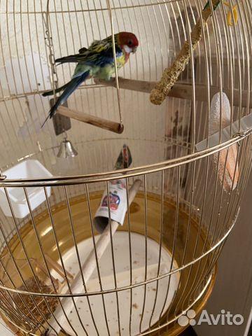 Продам попугая  89628134260 купить 3