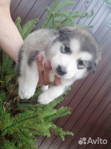 Аляскинский Маламут  89242255034 купить 5