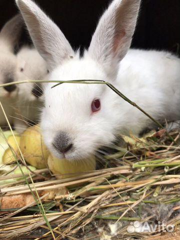 Кролик  89535421950 купить 1