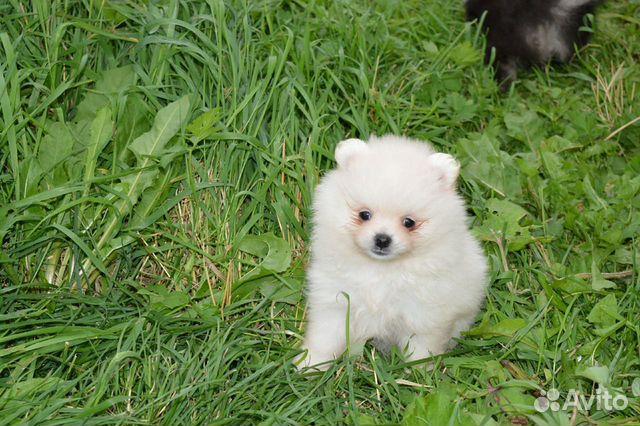 Spitz Pomeranian