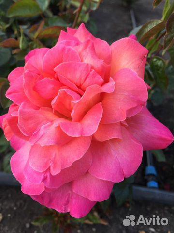 Саженцы деревьев, розы  89304046460 купить 4