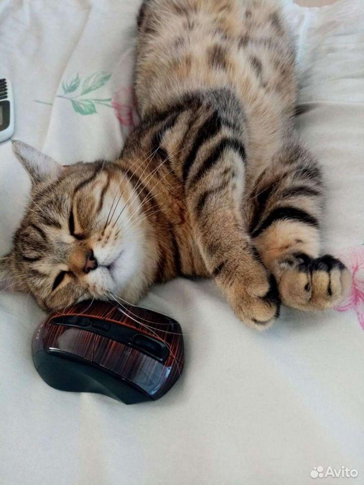 Шотландские котята  89525321477 купить 8