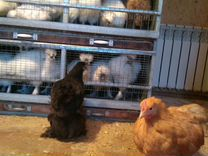 Цыплята кохинхины
