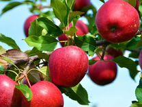 Яблоко вкусное зимнее моди — Растения в Екатеринбурге