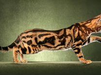 бенгальский кот полосатый фото