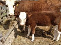 Продаётся корова с телёнком (бычок)