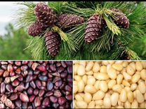 Чищенный кедровый орех