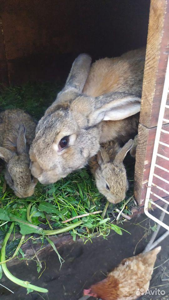 Кролик  89374313043 купить 5